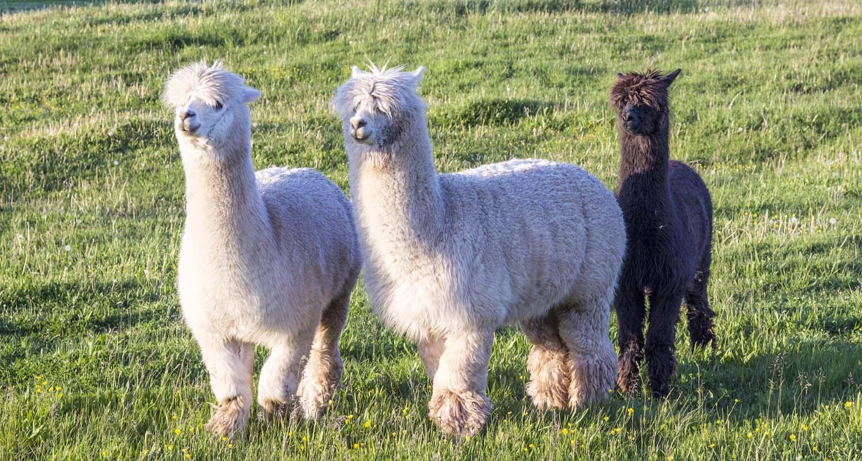 Alpaka Herde auf Wiese